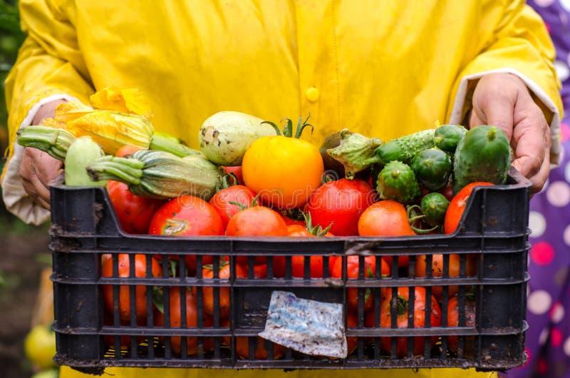 Gartenkünstler, der Frischgemüse hält lizenzfreie stockbilder