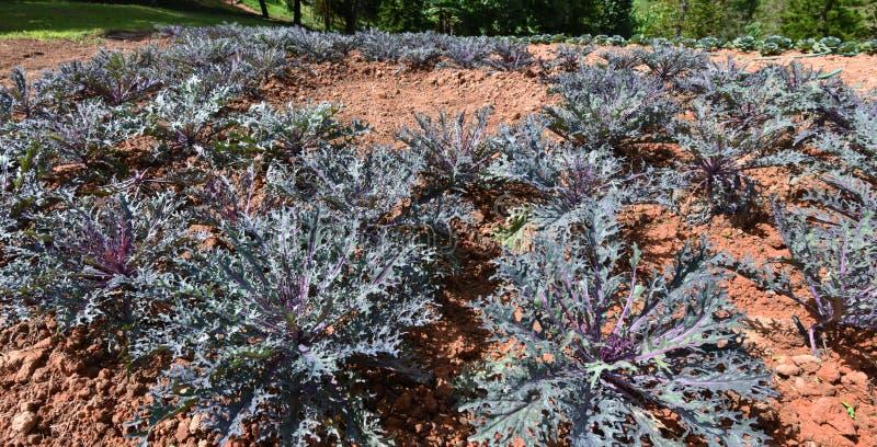 Gartenkohlpurpur für Dekorationen lizenzfreie stockbilder