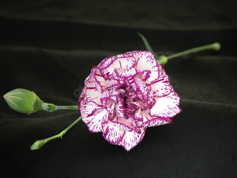 Gartennelke 3 Lizenzfreies Stockfoto