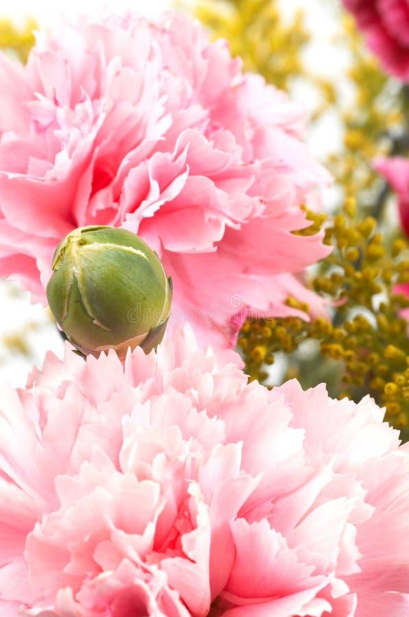 Gartennelke und Knospe stockbilder