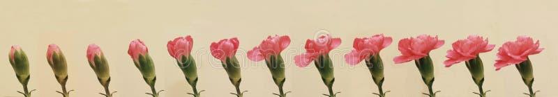 Gartennelkenblume lizenzfreies stockbild