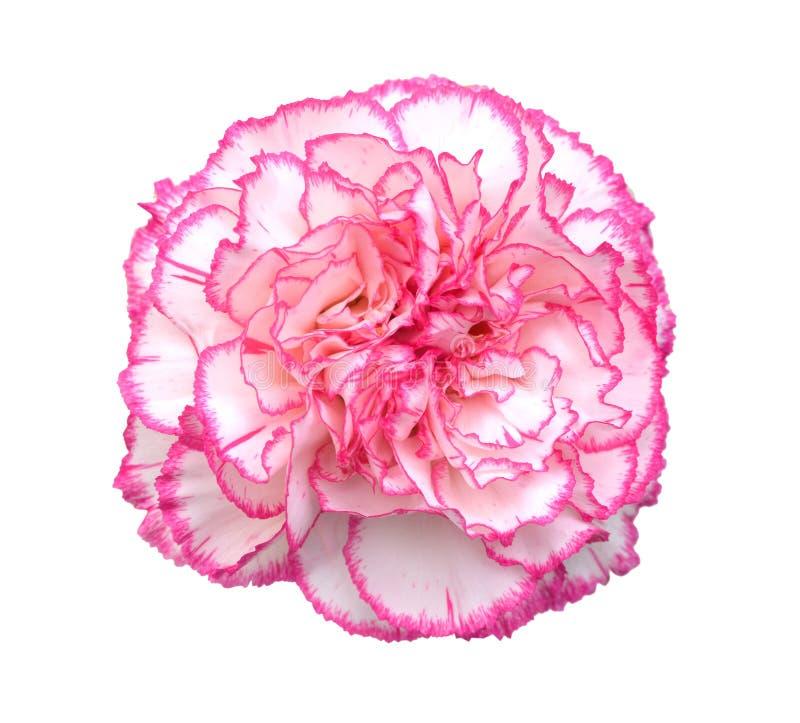 Gartennelkenblume stockfoto