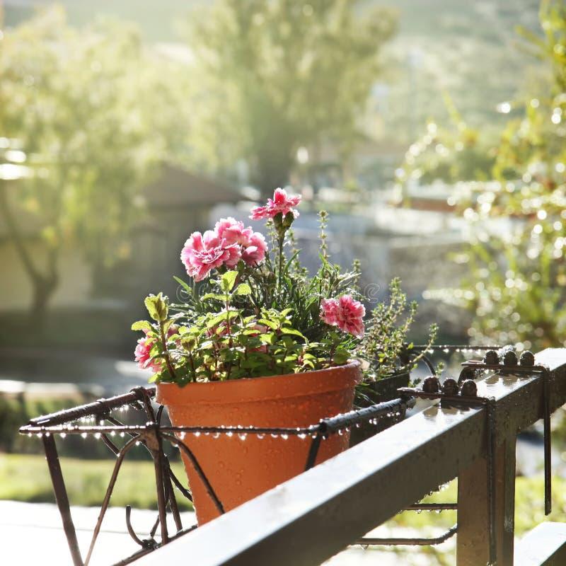 Gartennelkenblumen lizenzfreie stockfotografie