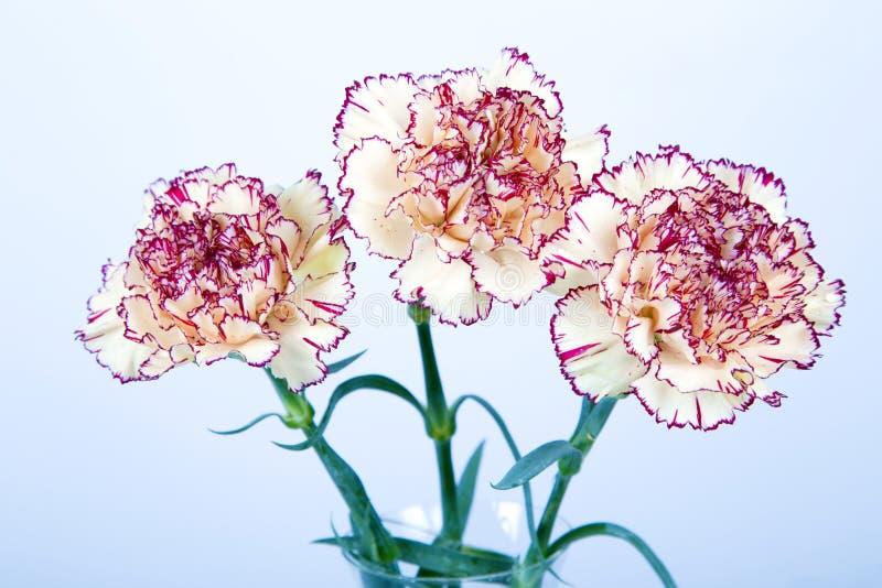 Gartennelkenblumen auf weißem Hintergrund lizenzfreie stockbilder