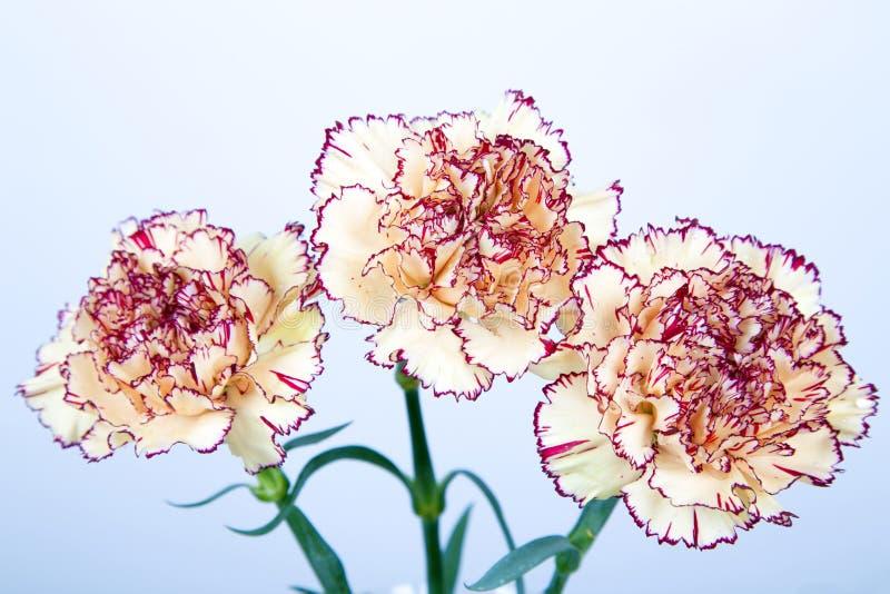 Gartennelkenblumen auf weißem Hintergrund lizenzfreie stockfotos