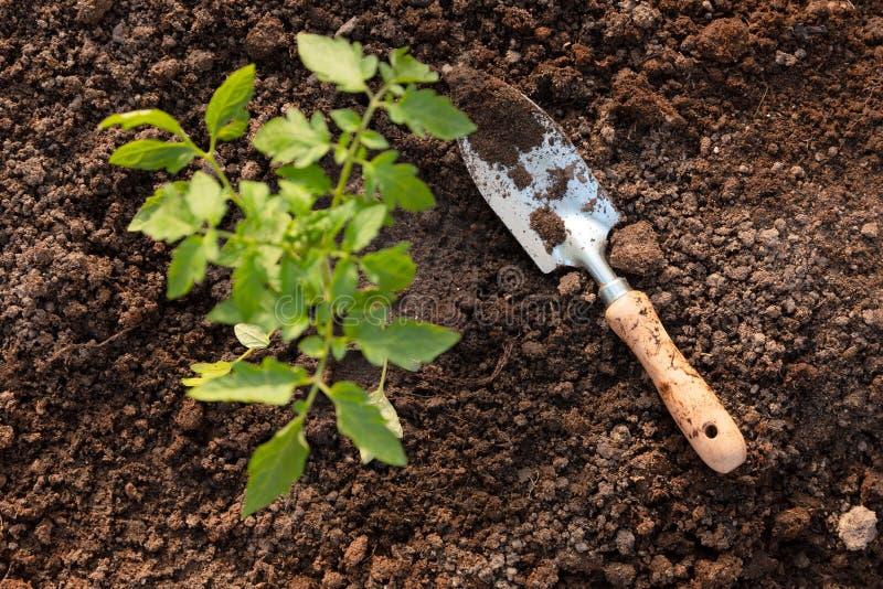 Gartenschaufel und ein Tomatensämling im Gewächshaus Organisches Gartenarbeit- und Wachstumskonzept lizenzfreies stockfoto