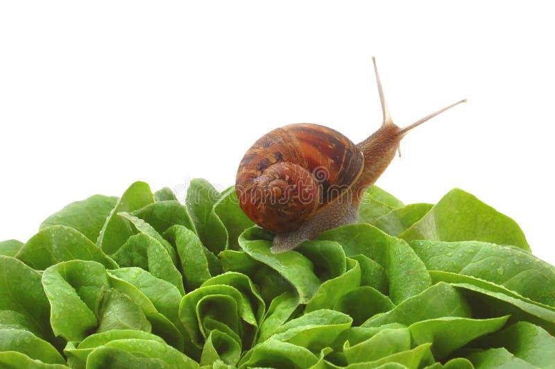 Gartenschnecke auf Kopfsalatblättern lizenzfreie stockbilder