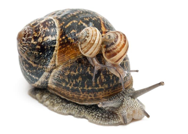 Gartenschnecke mit seinen Schätzchen auf seinem Shell stockfotografie