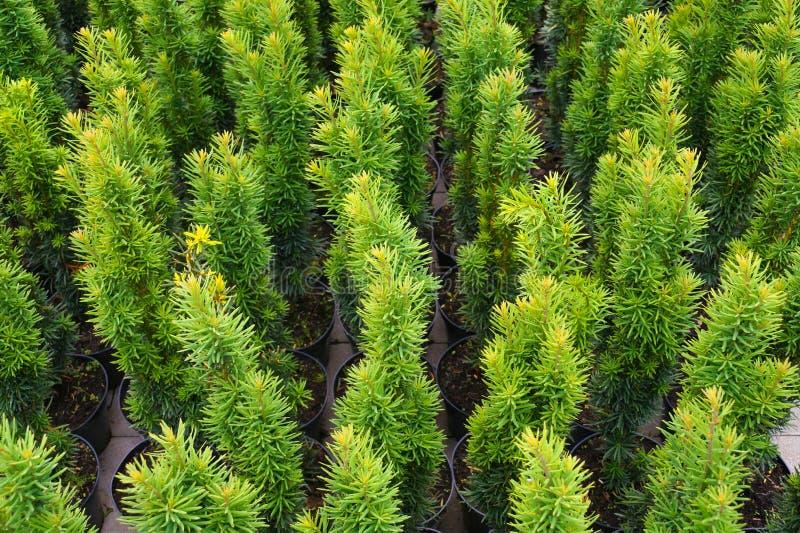 Gartenshop Eibe in den Töpfen, Vielzahl: Taxus baccata 'Fastigiata lizenzfreies stockfoto