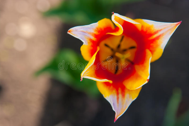 Gartentulpe stockfotografie
