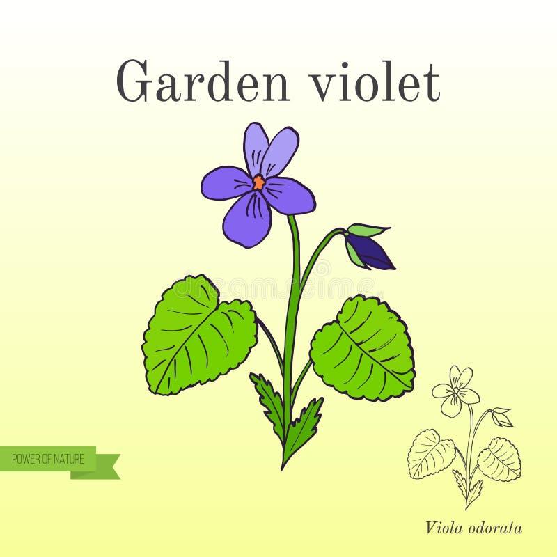 Gartenveilchen, aromatisch und Heilpflanze lizenzfreie abbildung