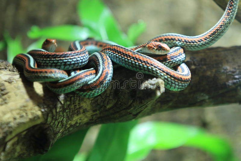 Garter του Σαν Φρανσίσκο φίδι στοκ εικόνα