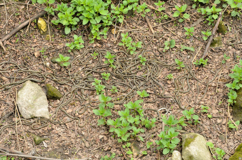 garter φίδια στοκ φωτογραφία με δικαίωμα ελεύθερης χρήσης