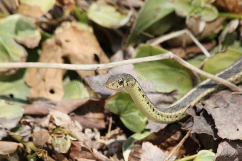Garter φίδι στα φύλλα στοκ εικόνες με δικαίωμα ελεύθερης χρήσης