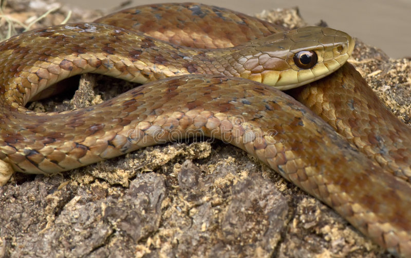 garter φίδι στοκ εικόνα με δικαίωμα ελεύθερης χρήσης