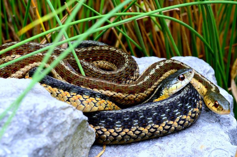 Garter φίδια στοκ εικόνες με δικαίωμα ελεύθερης χρήσης