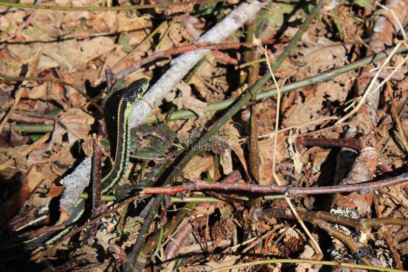 Garter φίδι στο δασικό πάτωμα στοκ φωτογραφίες με δικαίωμα ελεύθερης χρήσης