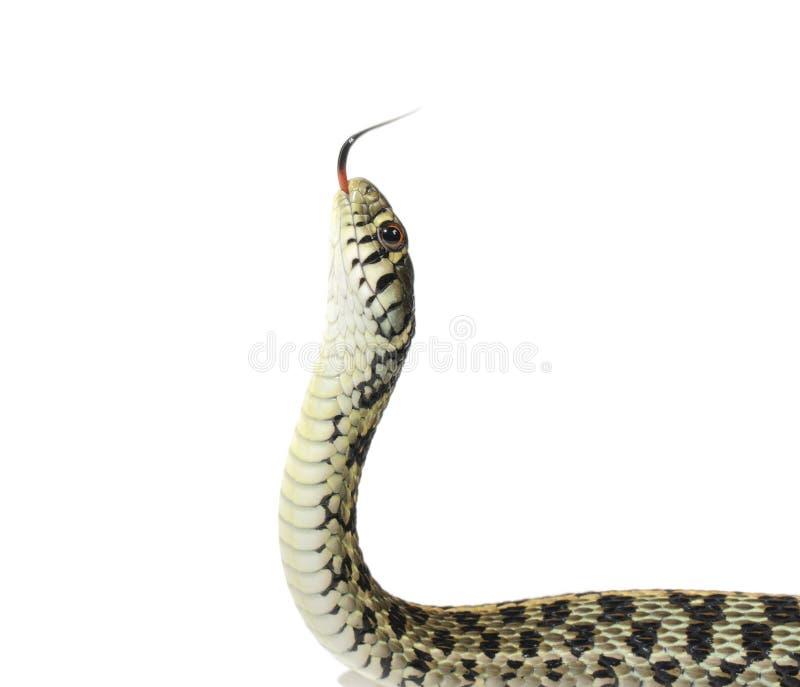 Garter φίδι στοκ φωτογραφίες με δικαίωμα ελεύθερης χρήσης