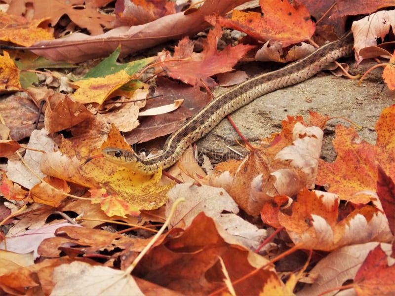 Garter φίδι στοκ εικόνες με δικαίωμα ελεύθερης χρήσης