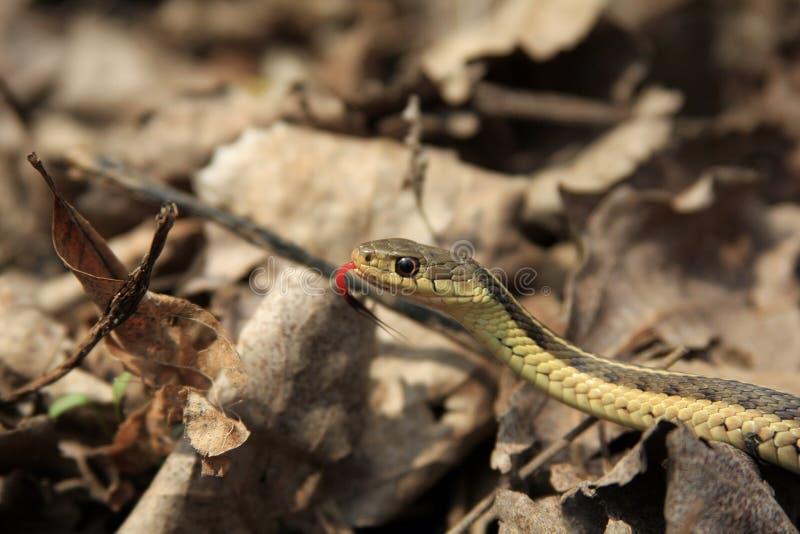 Download Garter Snake Royalty Free Stock Photography - Image: 11852287
