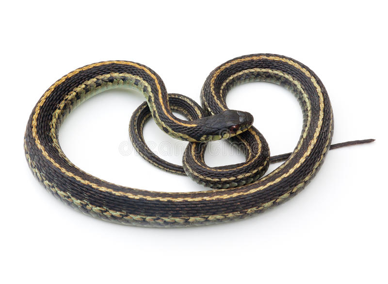 Garter Snake. Eastern Garter Snake (Thamnophis sirtalis) on a white background stock photography