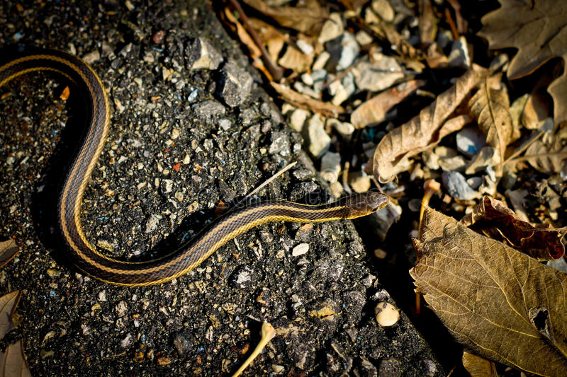 Download Garter Snake stock image. Image of tones, color, thamnophis - 27345489