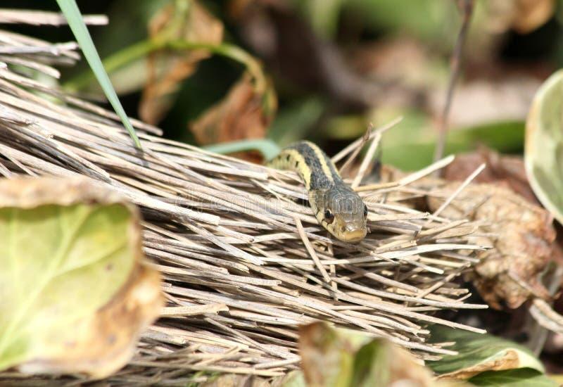 Garter Snake And Broom Stock Photo