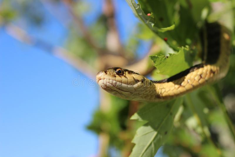 Garter Snake. Close-up of garter snake hanging down stock image