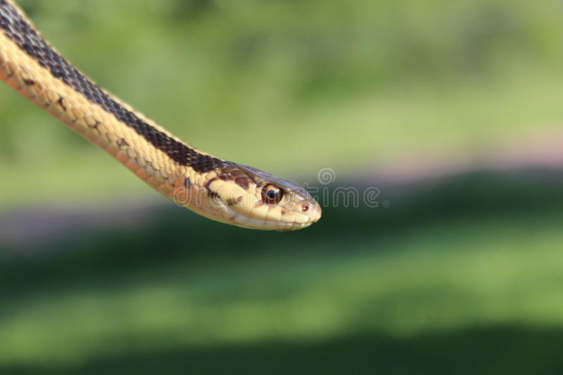Garter Snake. Close-up of a garter snake's head with a blurred background