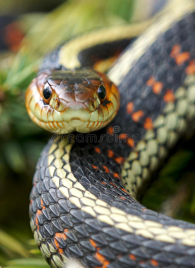 Garter Snake. A Garter Snake coiled up in the grass stock image