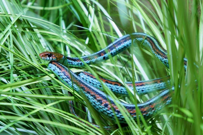 Garter snake stock photography
