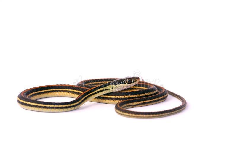 Garter Snake. Common Garter Snake portrait against white background royalty free stock photo