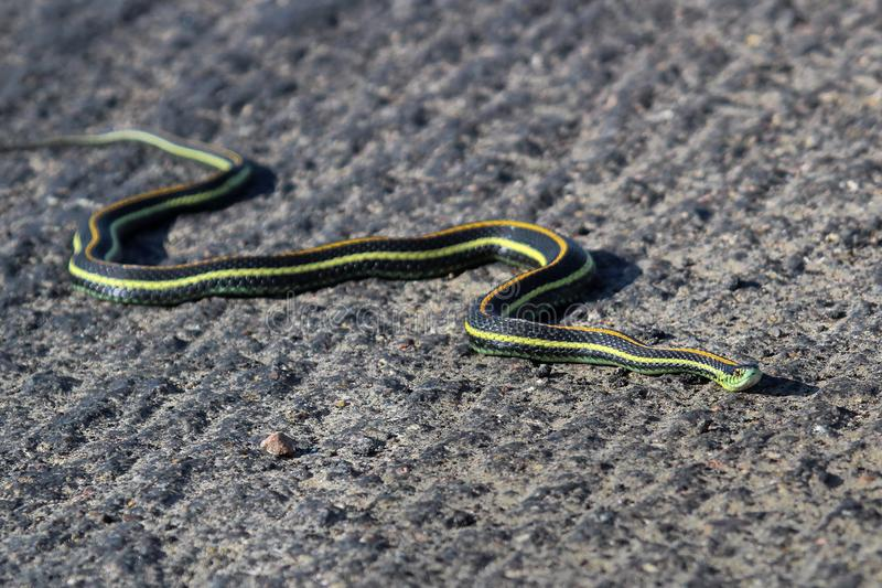 A garter snake crosses across rough pavement.  royalty free stock images