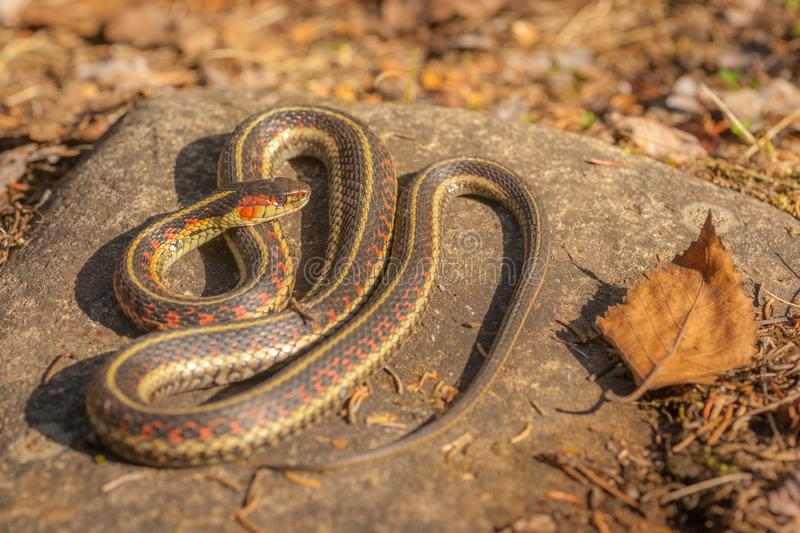 Garter Snake on Rock. A garter snake is enjoying the first sunrays of spring warming up on a rock in the morning stock photography