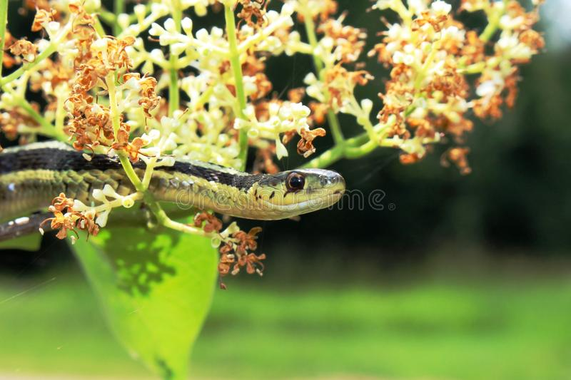 Garter Snake and flowers. Close-up of a garter snake on the flowers of a tree royalty free stock image