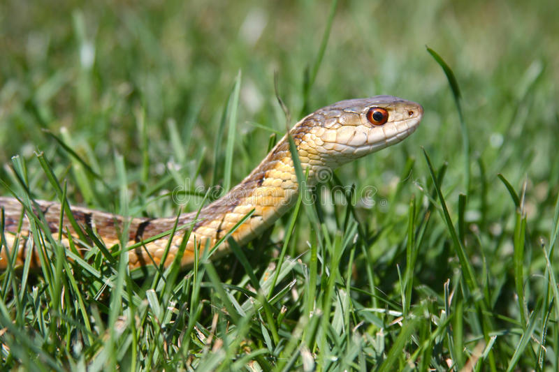 Garter Snake in the Grass. Close up of a Common Garter Snake slithering through the grass taken at ground level stock photos