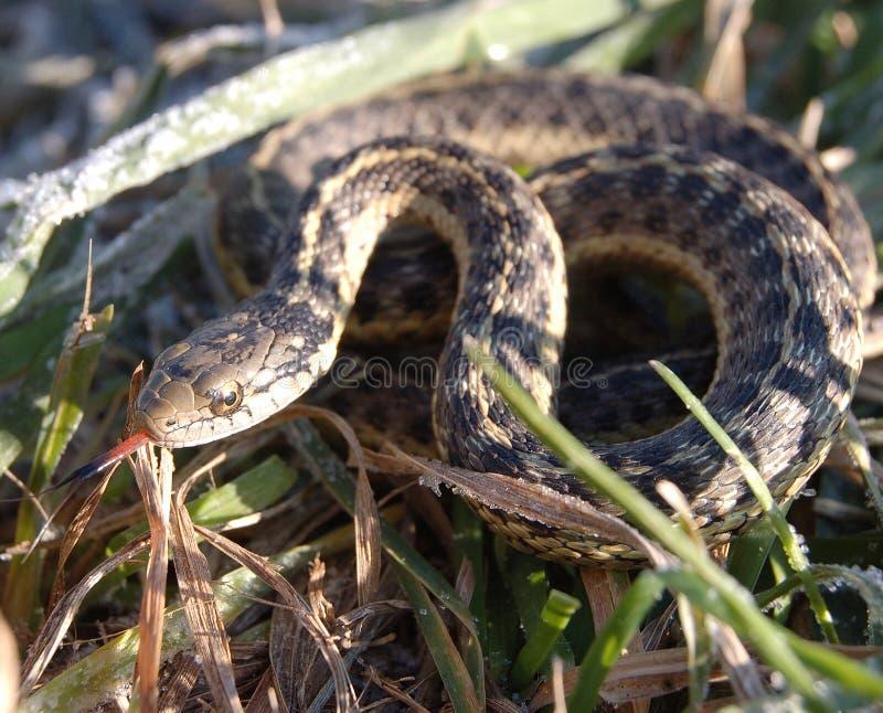 Garter snake in the grass. Garter snake using its smelling senses in the back yard grass stock images