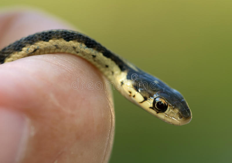 Garter Snake in Hand. Photograph of a juvenile Garter Snake (Thamnophis sirtalis) being held in the hand stock image