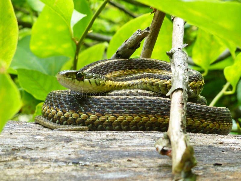 Garter Snake-kodad på loggen royaltyfri bild