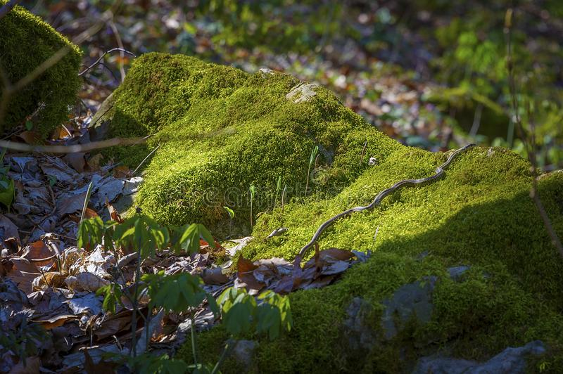 Garter Snake moving across a moss covered rock royalty free stock images