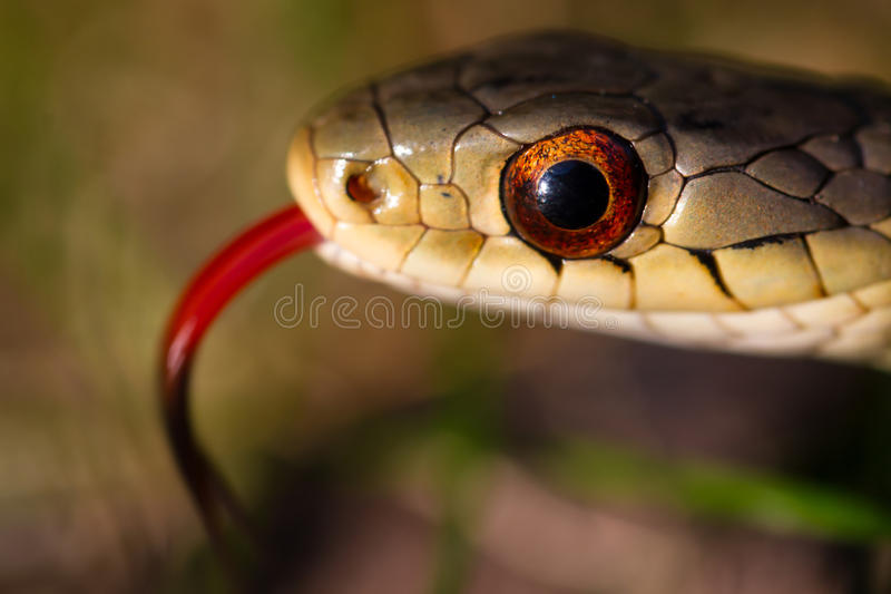 Garter snake orange eye stock photos