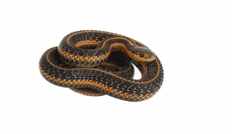 Garter snake rolling. royalty free stock images