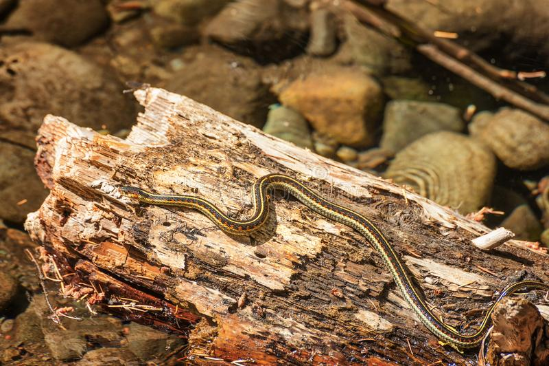 Garter snake sunning on log. A garter snake suns itself on a half submerged log in a creek royalty free stock photography