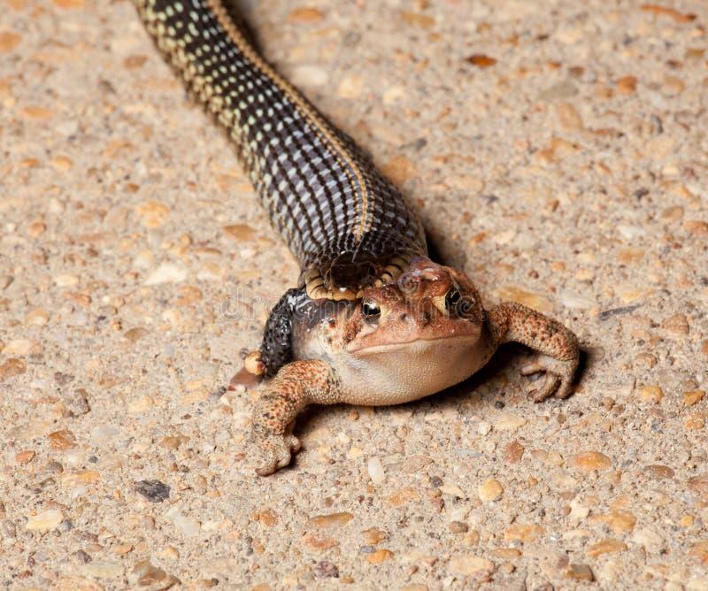 Gartner Schlange, die Kröte schluckt stockfotos