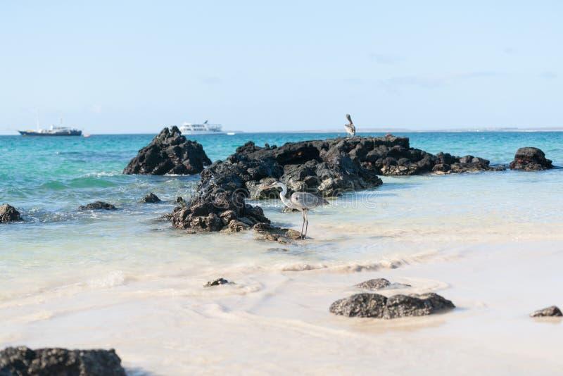 Garza azul gigante en roca en las islas de las Islas Galápagos con los barcos turísticos fotos de archivo