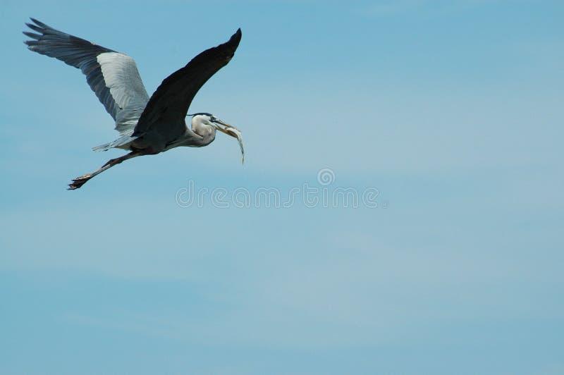 Garza azul que vuela con el retén imagenes de archivo