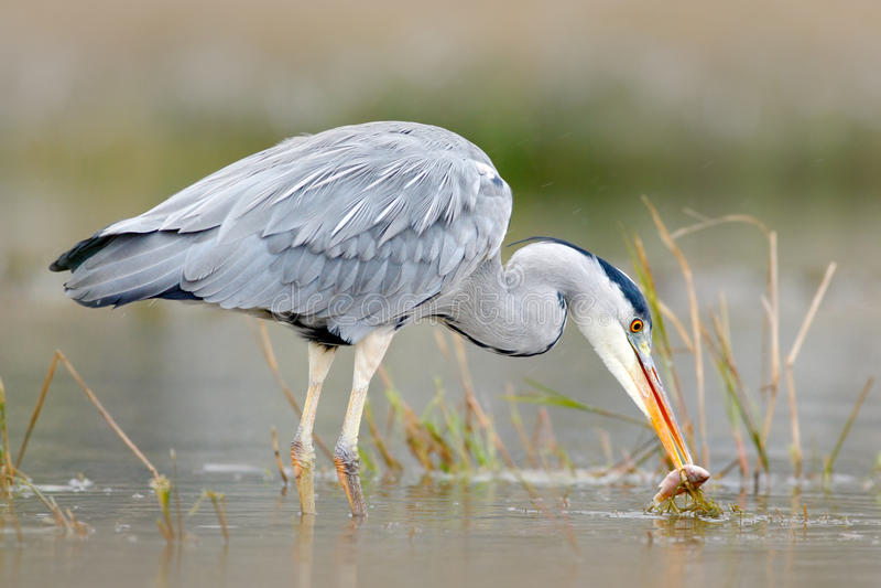 Garza con los pescados Pájaro con la captura Pájaro en agua Grey Heron, Ardea cinerea, empañó la hierba en fondo Garza en el lago imagenes de archivo