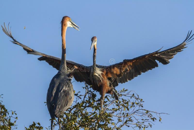 Garza de Goliat en el parque nacional de Kruger, Suráfrica imagen de archivo