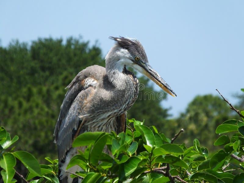 Download Garza De Gran Azul (Ardea Herodias) Imagen de archivo - Imagen de ornitología, aviar: 42431369
