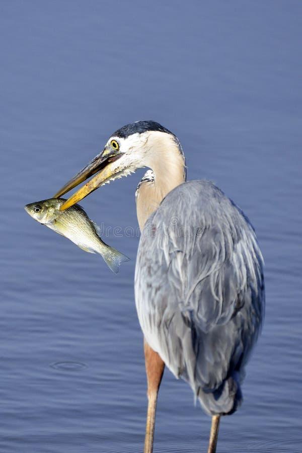 Garza de gran azul con los pescados foto de archivo